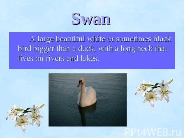 A large beautiful white or sometimes black bird bigger than a duck, with a long neck that lives on rivers and lakes. A large beautiful white or sometimes black bird bigger than a duck, with a long neck that lives on rivers and lakes.