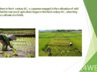 Somewhere in the V century BC. e. Japanese engaged in the cultivation of wild pl