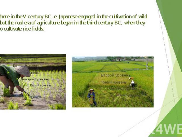 Somewhere in the V century BC. e. Japanese engaged in the cultivation of wild plants, but the real era of agriculture began in the third century BC, when they began to cultivate rice fields.