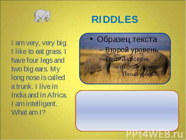 I am very, very big. I like to eat grass. I have four legs and two big ears. My long nose is called a trunk. I live in India and in Africa. I am intelligent. What am I?