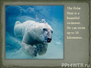 The Polar Bear is a beautiful swimmer. He can swim up to 50 kilometers. The Pola