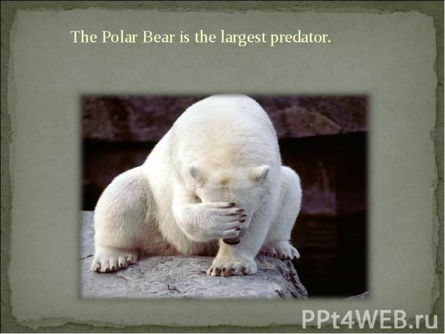 The Polar Bear is the largest predator. The Polar Bear is the largest predator.