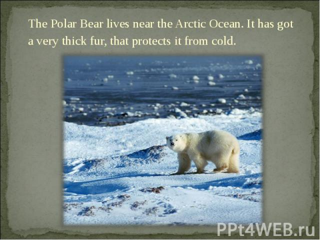 The Polar Bear lives near the Arctic Ocean. It has got a very thick fur, that protects it from cold. The Polar Bear lives near the Arctic Ocean. It has got a very thick fur, that protects it from cold.