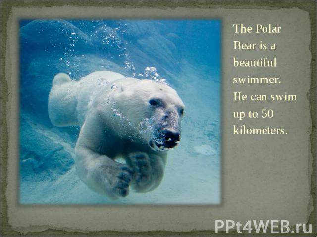 The Polar Bear is a beautiful swimmer. He can swim up to 50 kilometers. The Polar Bear is a beautiful swimmer. He can swim up to 50 kilometers.