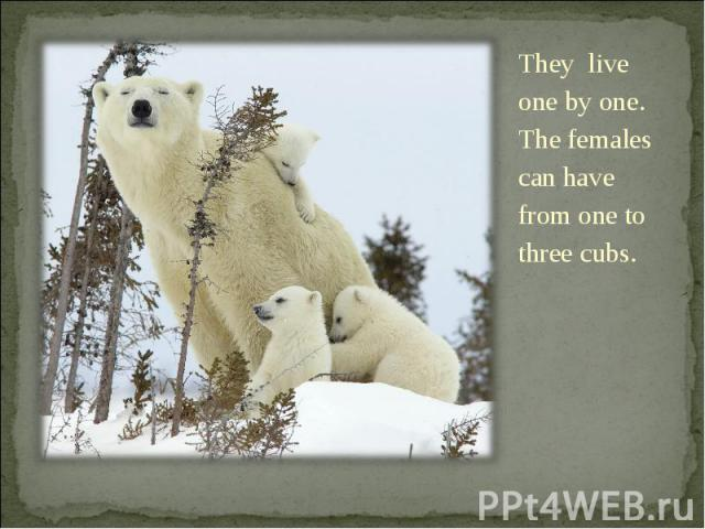 They live one by one. The females can have from one to three cubs. They live one by one. The females can have from one to three cubs.