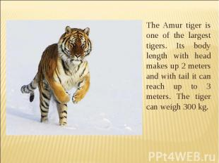 The Amur tiger is one of the largest tigers. Its body length with head makes up