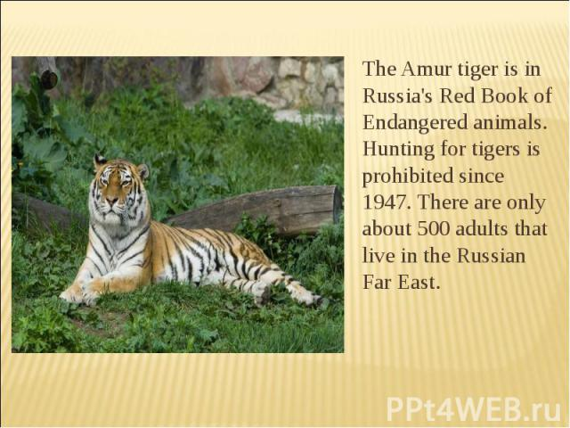 The Amur tiger is in Russia's Red Book of Endangered animals. Hunting for tigers is prohibited since 1947. There are only about 500 adults that live in the Russian Far East. The Amur tiger is in Russia's Red Book of Endangered animals. Hunting for t…