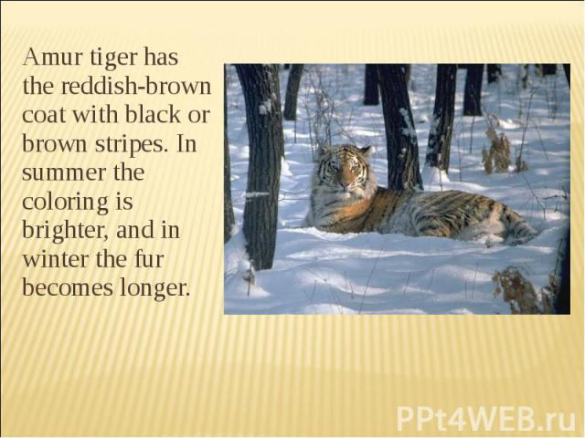 Amur tiger has the reddish-brown coat with black or brown stripes. In summer the coloring is brighter, and in winter the fur becomes longer. Amur tiger has the reddish-brown coat with black or brown stripes. In summer the coloring is brighter, and i…