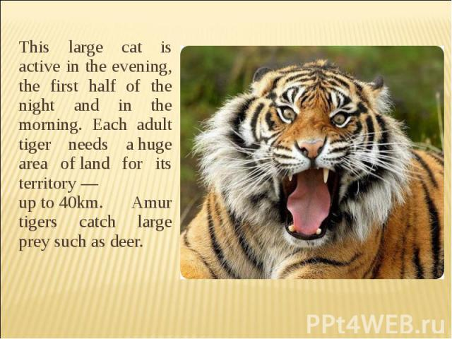 This large cat is active in the evening, the first half of the night and in the morning. Each adult tiger needs ahuge area ofland for its territory— upto40km. Amur tigers catch large prey such as deer.