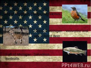 Bird of Michigan-Turdus migratorius Bird of Michigan-Turdus migratorius