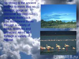 So strong is the ancient instinct to move that no drought, gorge or crocodile in