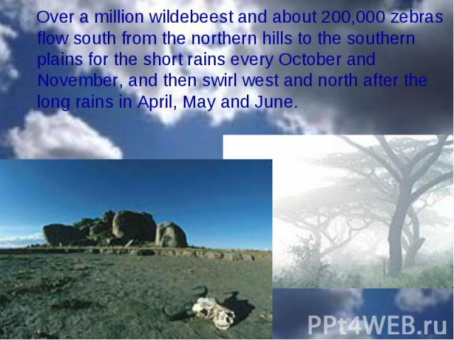Over a million wildebeest and about 200,000 zebras flow south from the northern hills to the southern plains for the short rains every October and November, and then swirl west and north after the long rains in April, May and June. Over a million wi…