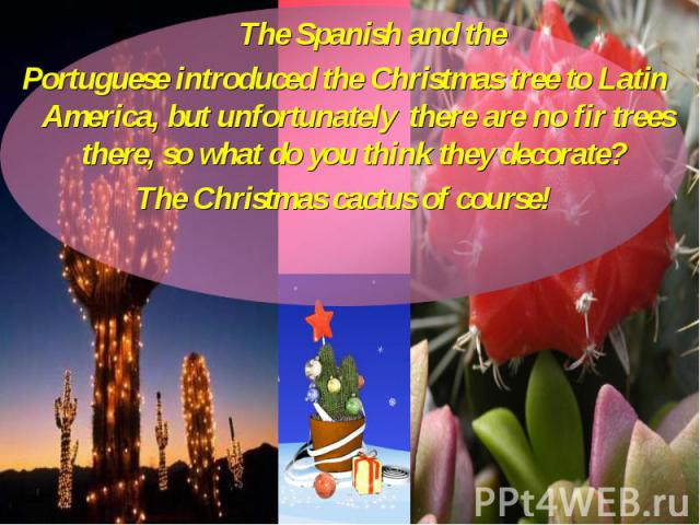 The Spanish and the The Spanish and the Portuguese introduced the Christmas tree to Latin America, but unfortunately there are no fir trees there, so what do you think they decorate? The Christmas cactus of course!