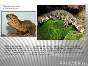 ШИНИЗАВР КРОКОДИЛОВЫЙ (Shinisaurus crocodilurus) Образ жизни его практически не