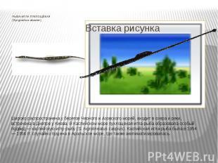 РЫБА-ИГЛА ПУХЛОЩЁКАЯ (Syngnathus abaster) Широко распространена у берегов Черног