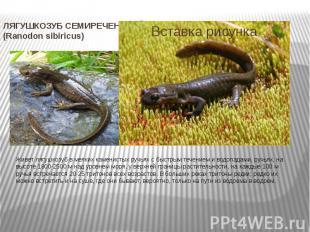 ЛЯГУШКОЗУБ СЕМИРЕЧЕНСКИЙ (Ranodon sibiricus) Живет лягушкозуб в мелких каменисты