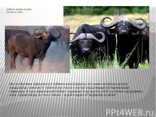 БУЙВОЛ АФРИКАНСКИЙ (Syncerus caffer) Места обитания африканского буйвола разнооб