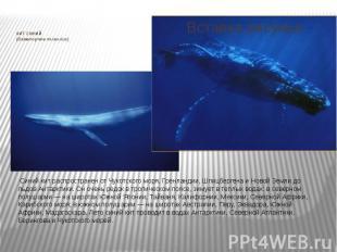 КИТ СИНИЙ (Balaenoptera musculus) Синий кит распространен от Чукотского мо