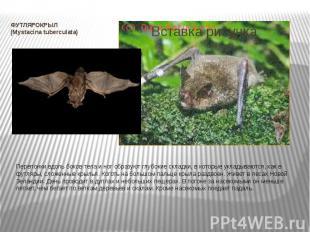 ФУТЛЯРОКРЫЛ (Mystacina tuberculata) Перепонки вдоль боков тела и ног образуют гл