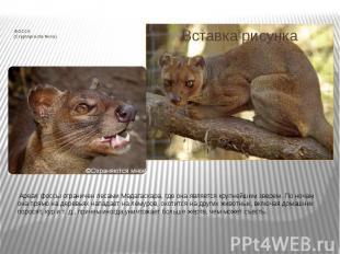 ФОССА (Cryptoprocta ferox) Ареал фоссы ограничен лесами Мадагаскара, где о