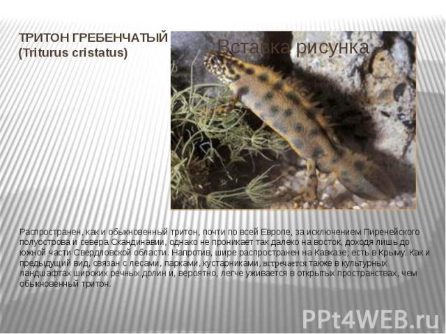 ТРИТОН ГРЕБЕНЧАТЫЙ (Triturus cristatus) Распространен, как и обыкновенный тритон, почти по всей Европе, за исключением Пиренейского полуострова и севера Скандинавии, однако не проникает так далеко на восток, доходя лишь до южной части Свердловской о…