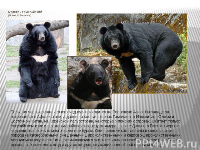 МЕДВЕДЬ ГИМАЛАЙСКИЙ (Ursus thibetanus) Большая часть ареала черного медведя приходится на Восточную Азию. На западе он встречается в Афганистане, а далее на южных склонах Гималаев, в Индокитае, Южном и Восточном Китае, на Корейском полуострове, неко…
