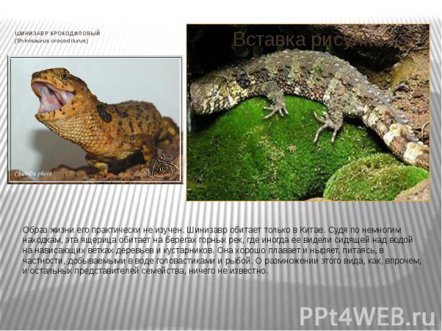 ШИНИЗАВР КРОКОДИЛОВЫЙ (Shinisaurus crocodilurus) Образ жизни его практически не изучен. Шинизавр обитает только в Китае. Судя по немногим находкам, эта ящерица обитает на берегах горных рек, где иногда ее видели сидящей над водой на нависающих ветка…
