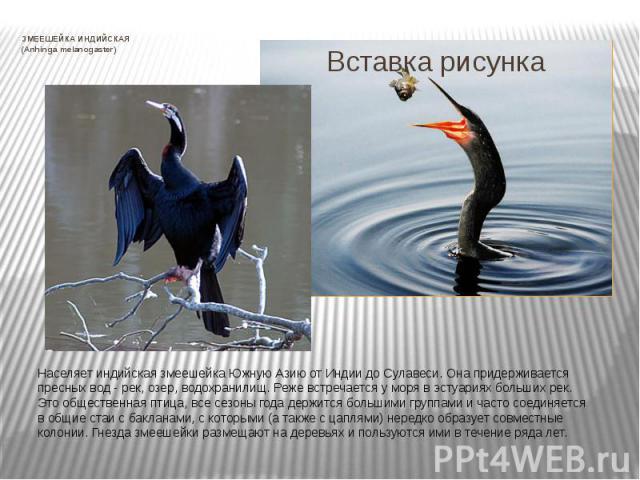 ЗМЕЕШЕЙКА ИНДИЙСКАЯ (Anhinga melanogaster) Населяет индийская змеешейка Южную Азию от Индии до Сулавеси. Она придерживается пресных вод - рек, озер, водохранилищ. Реже встречается у моря в эстуариях больших рек. Это общественная птица, все сезоны го…
