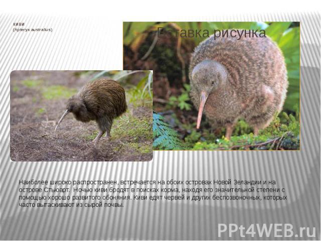 КИВИ (Apteryx australius) Наиболее широко распространен, встречается на обоих островах Новой Зеландии и на острове Стьюарт. Ночью киви бродят в поисках корма, находя его значительной степени с помощью хорошо развитого обоняния. Киви едят черве…