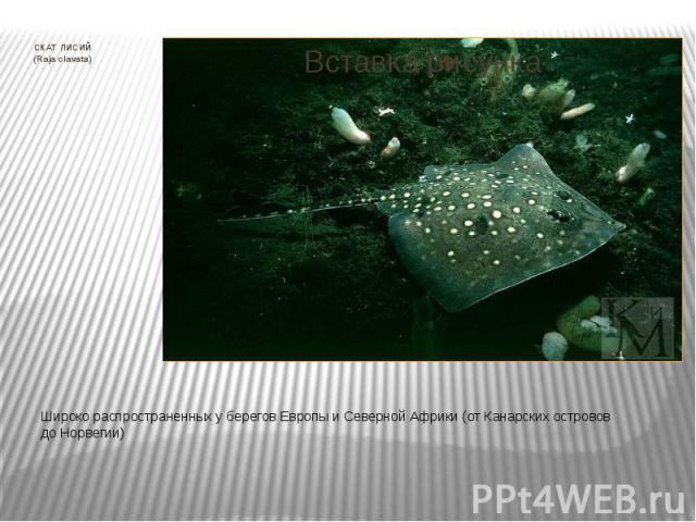 СКАТ ЛИСИЙ (Raja clavata) Широко распространенных у берегов Европы и Северной Африки (от Канарских островов до Норвегии)