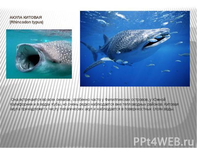 АКУЛА КИТОВАЯ (Rhincodon typus) Она встречается во всех океанах, особенно часто у Филиппинских островов, у Южной Калифорнии и в водах Кубы, но очень редко наблюдается вне тепловодных районов. Китовая акула принадлежит к числу пелагических акул…
