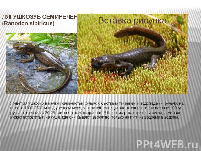 ЛЯГУШКОЗУБ СЕМИРЕЧЕНСКИЙ (Ranodon sibiricus) Живет лягушкозуб в мелких каменистых ручьях с быстрым течением и водопадами, ручьях, на высоте 1800-2500 м над уровнем моря, у верхней границы растительности, на каждые 100 м ручья встречается 20-25 трито…