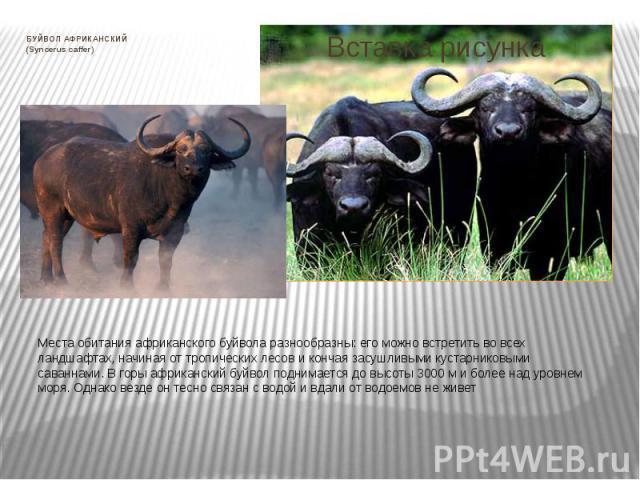 БУЙВОЛ АФРИКАНСКИЙ (Syncerus caffer) Места обитания африканского буйвола разнообразны: его можно встретить во всех ландшафтах, начиная от тропических лесов и кончая засушливыми кустарниковыми саваннами. В горы африканский буйвол поднимается до высот…