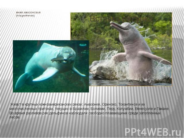 ИНИЯ АМАЗОНСКАЯ (Inia geofrensis) Живут в крупных южноамериканских реках: Амазонке, Ориноко, Токантинсе и их многочисленных притоках, текущих в Бразилии, Боливии, Перу, Колумбии, Венесуэле и Гвиане. Во время разливов рек дельфинов наблюдали св…