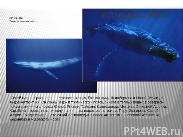 КИТ СИНИЙ (Balaenoptera musculus) Синий кит распространен от Чукотского моря, Гренландии, Шпицбергена и Новой Земли до льдов Антарктики. Он очень редок в тропическом поясе, зимует в теплых водах: в северном полушарии — на широтах Южной Японии,…