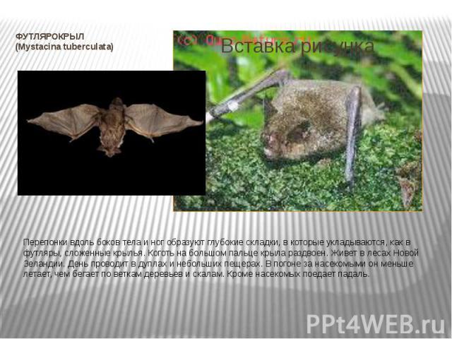 ФУТЛЯРОКРЫЛ (Mystacina tuberculata) Перепонки вдоль боков тела и ног образуют глубокие складки, в которые укладываются, как в футляры, сложенные крылья. Коготь на большом пальце крыла раздвоен. Живет в лесах Новой Зеландии. День проводит в дуплах и …