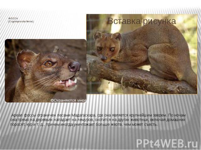 ФОССА (Cryptoprocta ferox) Ареал фоссы ограничен лесами Мадагаскара, где она является крупнейшим зверем. По ночам она прямо на деревьях нападает на лемуров, охотится на других животных, включая домашних поросят, кур и т. д., причем иногда унич…