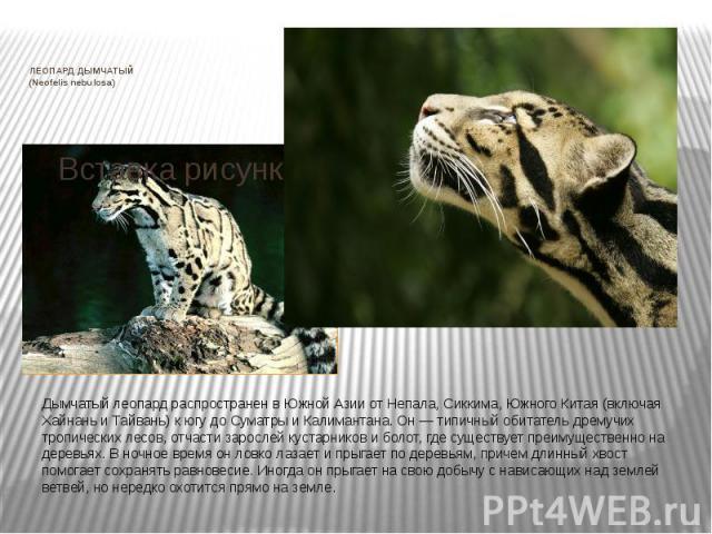 ЛЕОПАРД ДЫМЧАТЫЙ (Neofelis nebulosa) Дымчатый леопард распространен в Южной Азии от Непала, Сиккима, Южного Китая (включая Хайнань и Тайвань) к югу до Суматры и Калимантана. Он — типичный обитатель дремучих тропических лесов, отчасти зарослей кустар…