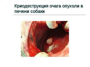 Криодеструкция очага опухоли в печени собаки