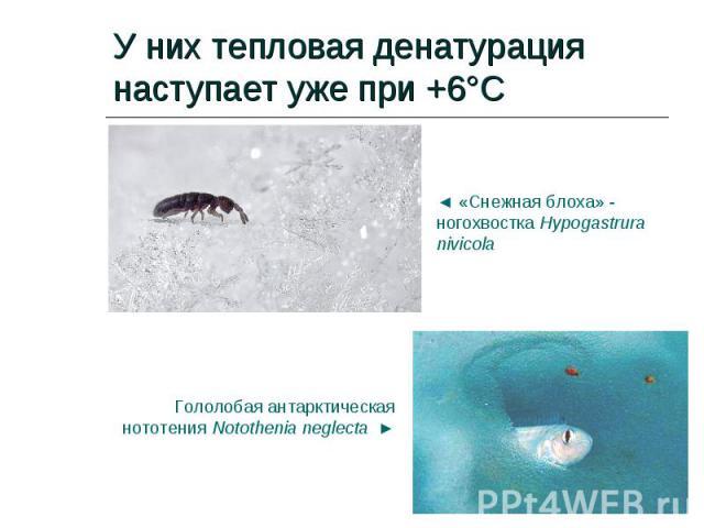 У них тепловая денатурация наступает уже при +6°С
