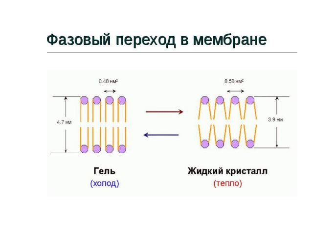 Фазовый переход в мембране