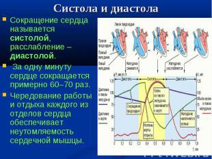Сокращение сердца называется систолой, расслабление – диастолой. Сокращение серд