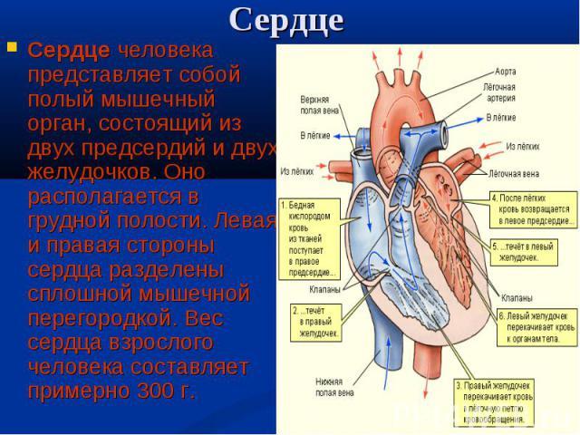 Сердце человека представляет собой полый мышечный орган, состоящий из двух предсердий и двух желудочков. Оно располагается в грудной полости. Левая и правая стороны сердца разделены сплошной мышечной перегородкой. Вес сердца взрослого человека соста…
