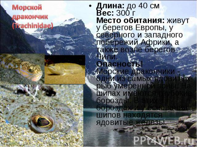 Длина: до 40 см Вес: 300 г Место обитания: живут у берегов Европы, у северного и западного побережий Африки, а также возле берегов Чили. Опасность! Морские дракончики - одни из самых ядовитых рыб умеренной зоны. На шипах имеются глубокие борозды. В …