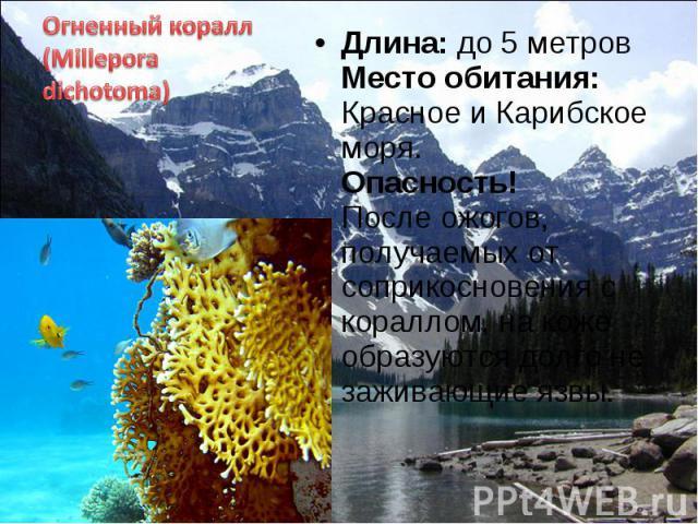 Длина: до 5 метров Место обитания: Красное и Карибское моря. Опасность! После ожогов, получаемых от соприкосновения с кораллом, на коже образуются долго не заживающие язвы. Длина: до 5 метров Место обитания: Красное и Карибское моря. Опасность! Посл…