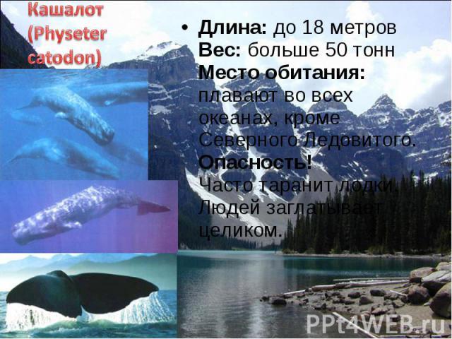 Длина: до 18 метров Вес: больше 50 тонн Место обитания: плавают во всех океанах, кроме Северного Ледовитого. Опасность! Часто таранит лодки. Людей заглатывает целиком. Длина: до 18 метров Вес: больше 50 тонн Место обитания: плавают во всех океанах, …