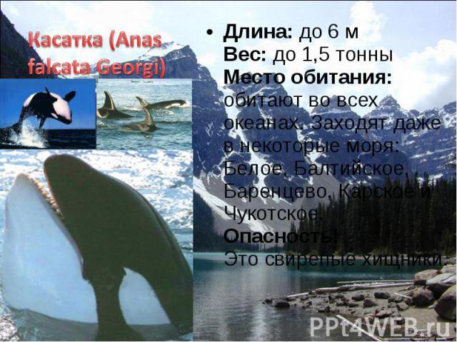 Длина: до 6 м Вес: до 1,5 тонны Место обитания: обитают во всех океанах. Заходят даже в некоторые моря: Белое, Балтийское, Баренцево, Карское и Чукотское. Опасность! Это свирепые хищники. Длина: до 6 м Вес: до 1,5 тонны Место обитания: обитают во вс…