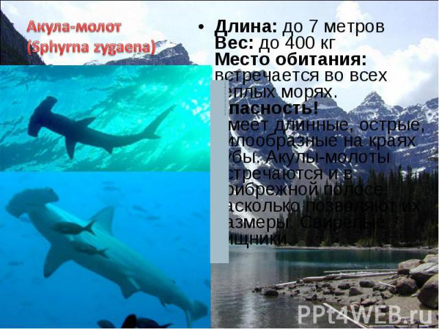 Длина: до 7 метров Вес: до 400 кг Место обитания: встречается во всех теплых морях. Опасность! Имеет длинные, острые, пилообразные на краях зубы. Акулы-молоты встречаются и в прибрежной полосе, насколько позволяют их размеры. Свирепые хищники. Длина…