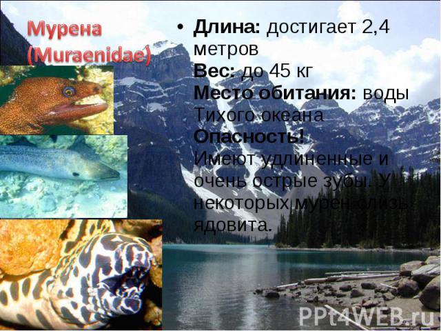 Длина: достигает 2,4 метров Вес: до 45 кг Место обитания: воды Тихого океана Опасность! Имеют удлиненные и очень острые зубы. У некоторых мурен слизь ядовита. Длина: достигает 2,4 метров Вес: до 45 кг Место обитания: воды Тихого океана Опасность! Им…