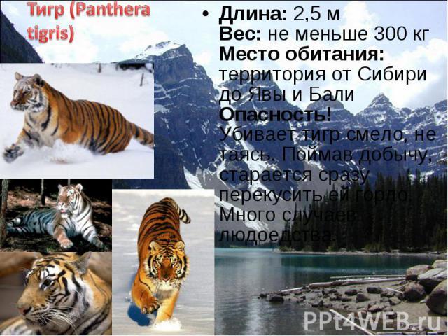 Длина: 2,5 м Вес: не меньше 300 кг Место обитания: территория от Сибири до Явы и Бали Опасность! Убивает тигр смело, не таясь. Поймав добычу, старается сразу перекусить ей горло. Много случаев людоедства. Длина: 2,5 м Вес: не меньше 300 кг Место оби…